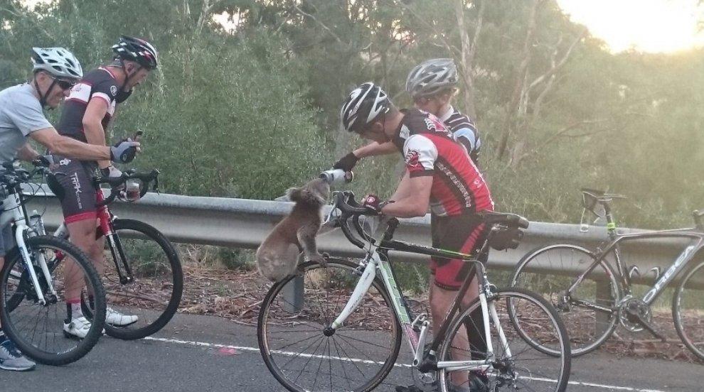 Un koala dissetato da ciclisti