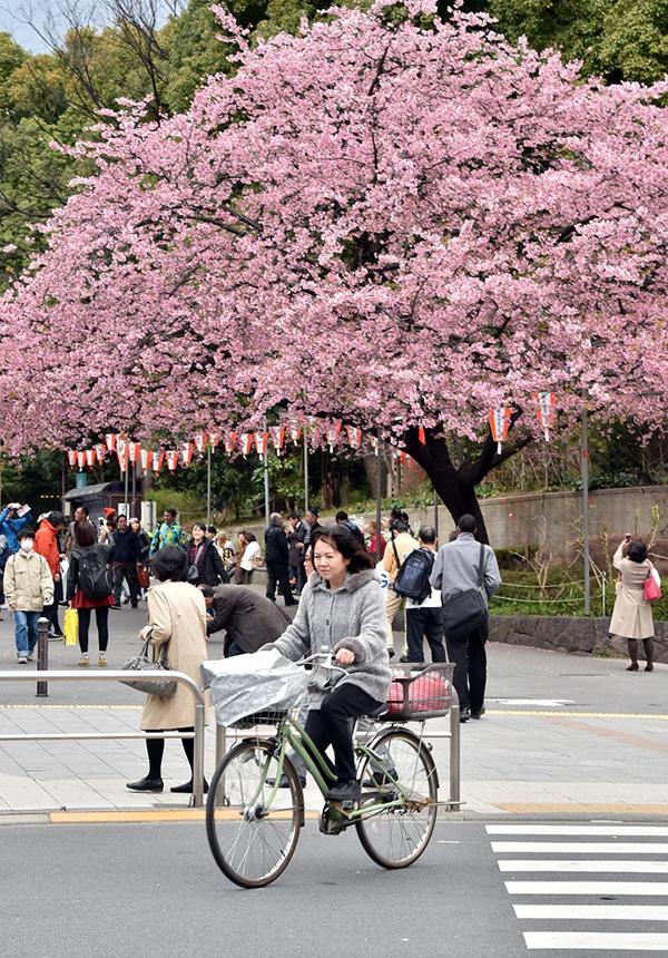 Una donna pedale tra i ciliegi in fiore a Tokyo