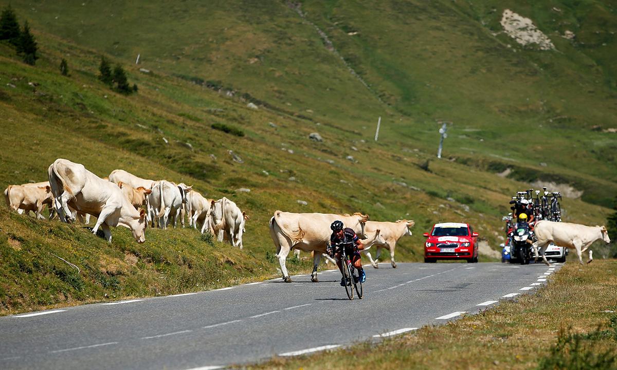 Attraversamento mucche al Tour